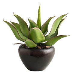 Potted Agave, $35.